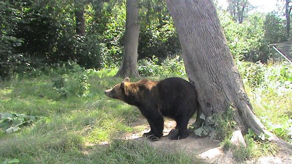 <br />             דב בפארק הדובים ברומניה