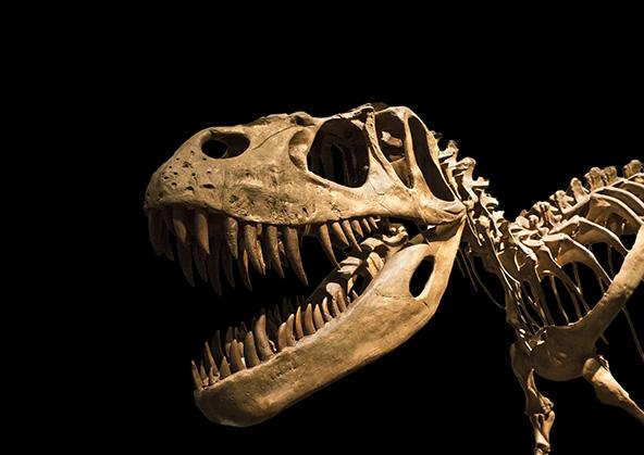 """גולגולת של טירנוזאורוס רקס. הכחדה המונית של בעלי חיים וצמחים התרחשה כמה פעמים בתולדות כדור הארץ. כך, למשל, לפני 65 מיליון שנה בא הקץ ל""""עידן הזוחלים"""""""