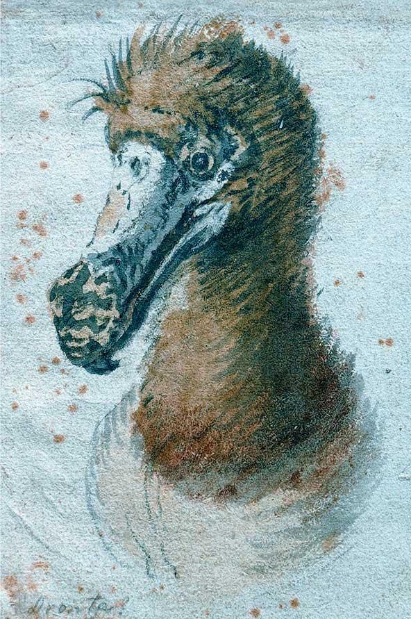 דודו, ציור של הצייר הפלמי קורנליס ספטלאבן, 1638. ככל הידוע זהו הציור האחרון של הדודו לפני שנכחד