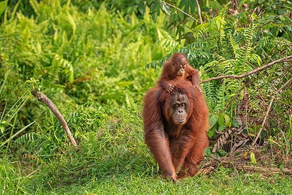 נקבה של אורנגאוטן בורנאי נושאת גור. כריתה מסיבית של היערות הביאה את האורנגאוטן למצב של סכנת הכחדה חמורה