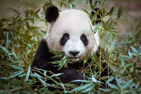 מצבה של הפנדה הענקית, שהפכה במידה רבה סמל למאבק להצלת בעלי חיים מהכחדה, משתפר קמעה בשנים האחרונות, בעקבות הקמת מרכזי רבייה בדרום-מערב סין