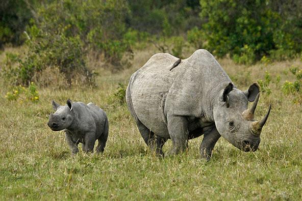 נקבת קרנף צר שפה וגור בשמורה בקניה. צייד מסיבי של קרנפים אחראי לכך שכיום הם נמצאים בסכנת הכחדה חמורה