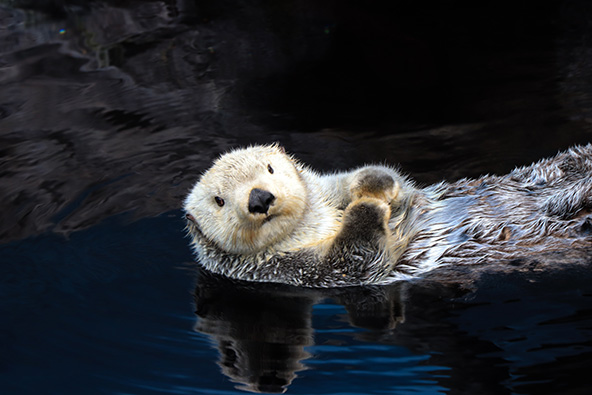 הצלחות קטנות: לאחר שנים שלוטרת הים של קליפורניה נחשבה מין נכחד, נמצאו כמה פרטים שהצליחו להסתתר בחופים המפורצים. כיום היא עדיין בסכנת הכחדה, אבל ניתן לראותה שוחה במימי האוקיינוס