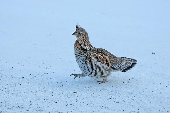 במרחבים המושלגים של מניטובה אפשר לפגוש מיני בעלי חיים, כמו למשל שכווי השלג הזה