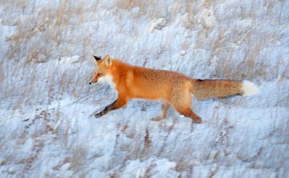 שועל בשלג. בחורף הקנדי הקפוא, השועלים הרעבים מחפשים נברנים ועכברים במחילות מתחת לשלג