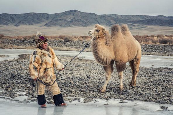 גמל דו דבשתי במונגוליה, צילום שאטרסטוק