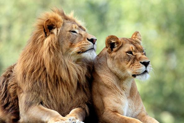 מתכננים ללכת לסרט בבולטימור? השאירו את האריה שלכם מאחור
