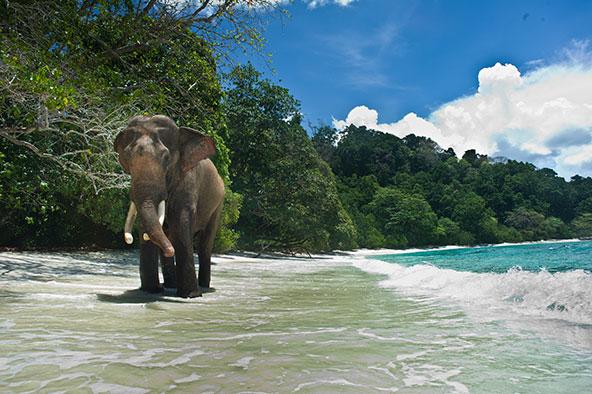 פיל צועד על החוף באיי אנדמן