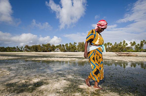 אישה מלקטת צדפות בעת השפל בחוף זנזיברי