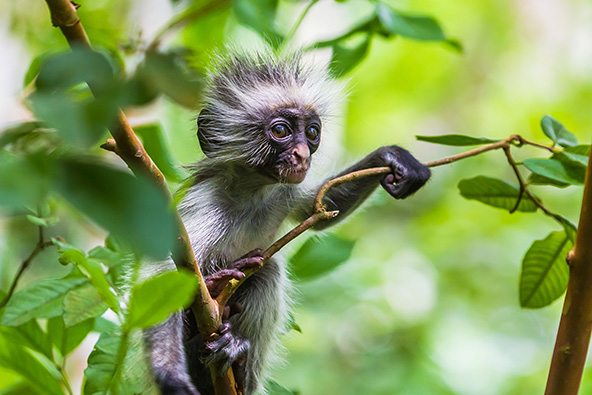 גור של קולובוס אדום, קוף אנדמי לזנזיבר, בשמורת יער ג'וזאני