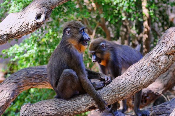 קופים בגן החיות של ברצלונה