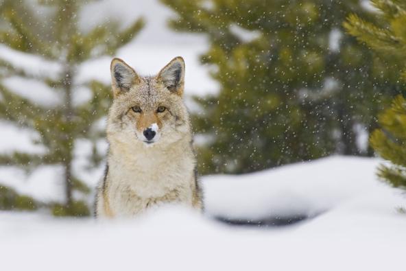 זאב בילוסטון. הפארק המפורסם מקבל מראה שונה לגמרי עם בוא החורף