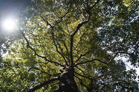 עץ אלון בנחל בצת | צילום: אופק רון-כרמל