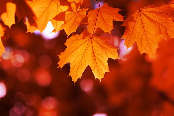 עצי האדר (מייפל) נצבעים בסתיו בצבעי שלכת יפהפיים במיוחד
