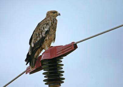 ירידה משמעותית במספר העופות הנפגעים מהתחשמלות