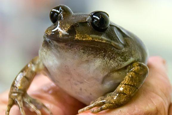 צפרדע שנכחדה תוחזר לחיים