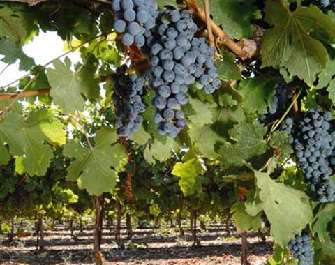 דרך היין בכרמל