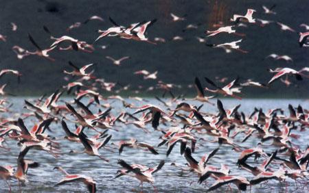 עופות בקניה – הזמנה למסיבה פסיכדלית