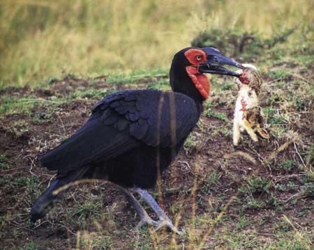 קלאו אדום הפנים: העוף המוזר בעל קרני הפר
