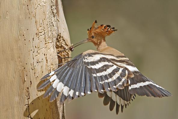 דוכיפת – הציפור של כולנו