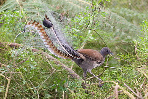 ציפור נבל הדורה – החקיינית המושלמת