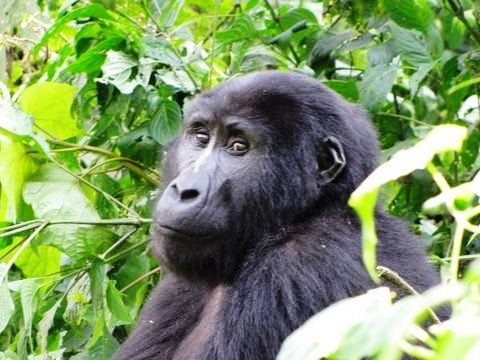 גורילות באוגנדה – טרק בשמורת בווינדי