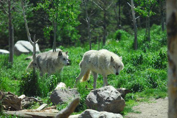 סרטון: כשהזאבים חזרו לילוסטון