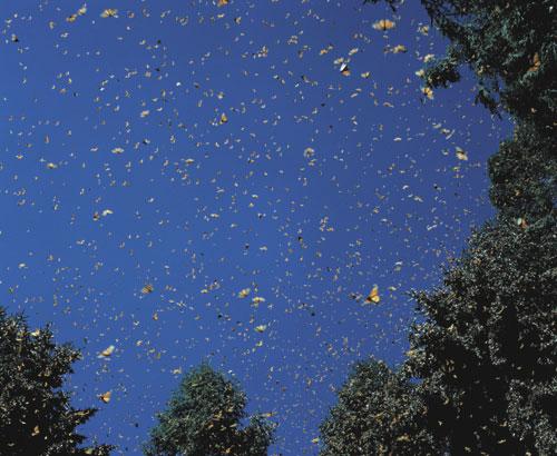 נדודי פרפרי הדנאית, מקסיקו