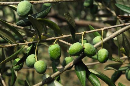 שמן זית חלוצה – שמן מתוק ממים מלוחים