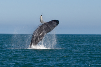 אירופה – ציידת הלווייתנים הגדולה בעולם