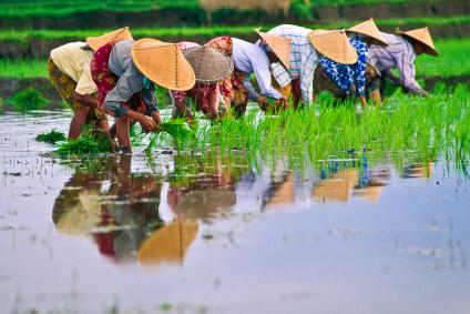 האורז – אוכל עולמי