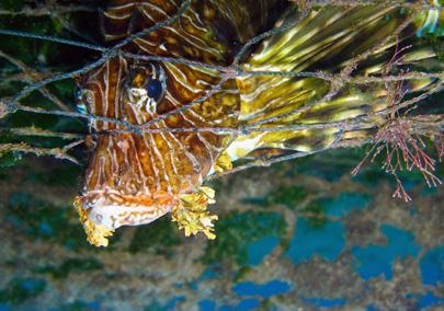 מפרץ אילת: חולצו דגים שנתפסו ברשתות נטושות