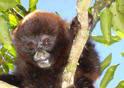 פרו – שומרים על קוף הצמר