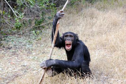 בעלי חיים – שימוש בכלים