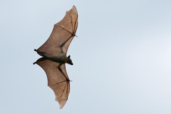 נדידת העטלפים הגדולה בזמביה