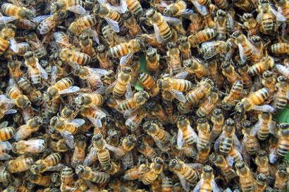 כיצד להימלט מנחיל דבורים קטלניות