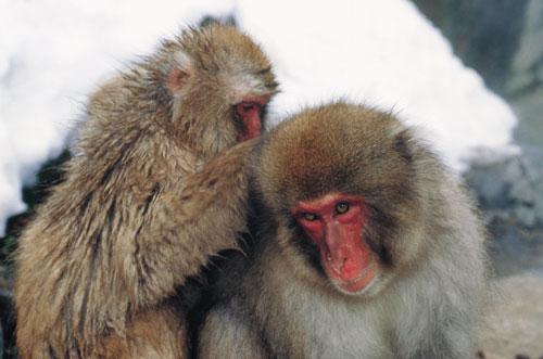 יפן – קופים בשלג