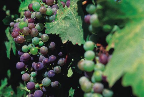 יין בקליפורניה – עמקי נאפה וסונומה