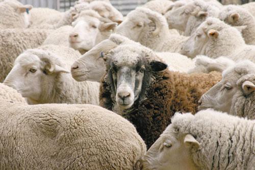 סופרים כבשים: המדריך לשינה מושלמת