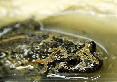 תגלית מרעישה: צפרדע שנכחדה נמצאה בשמורת החולה