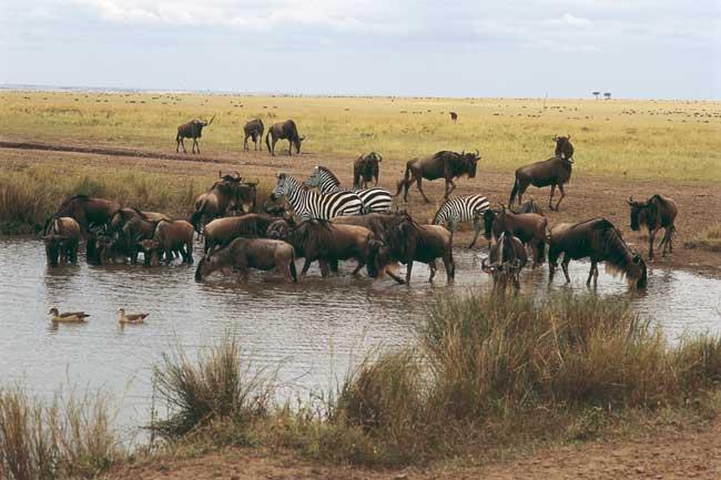 בעלי חיים באפריקה: אל בורות המים