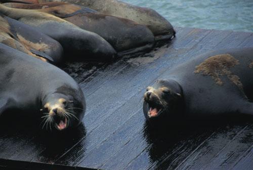 יונקים ימיים בקליפורניה: מה משותף לאריה, פיל וכלב?