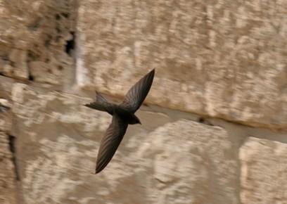 ציפורי הסיסים חזרו לקנן בין אבני הכותל