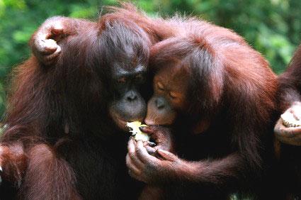 קופי אורנגאוטן לומדים לתת ולקבל טובות