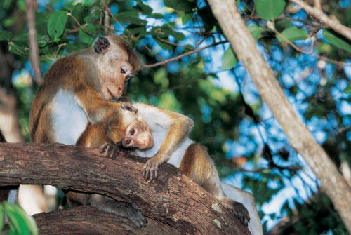בעקבות קופי מקוק בסרי לנקה