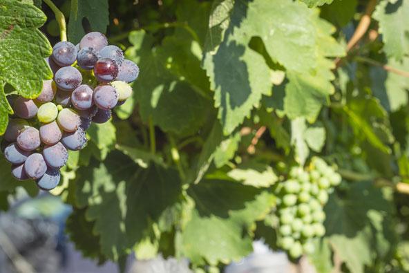 טיול יין באזור הכרמל