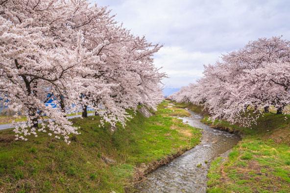 בעקבות פריחת הדובדבן ביפן
