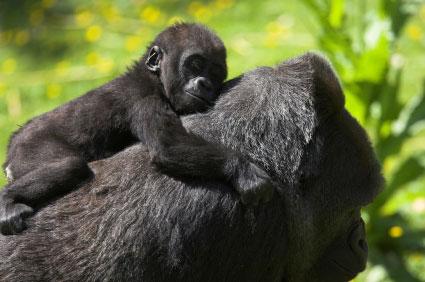 אוגנדה: יער הגורילות ההרריות