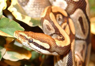 מלזיה: הנחש שאכל 11 כלבים