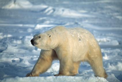 דובים לבנים: החיים לא קלים